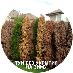 thuja-hedge.png